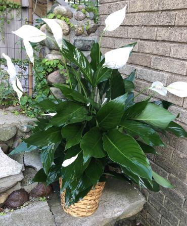 The Peace Lily or Spathiphyllum Kochii