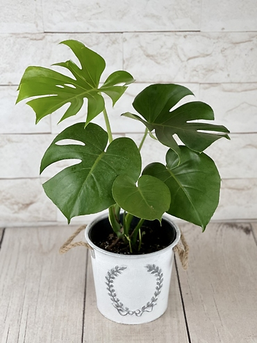 Split Leaf Monstera